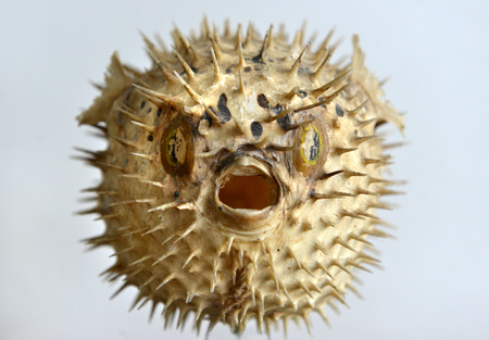 curio: Dried and preserved antique puffer fish (tetraodontidae) specimen. Stock Photo