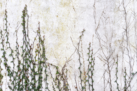 urban decay: Ivy climbing up white wall on derelict building