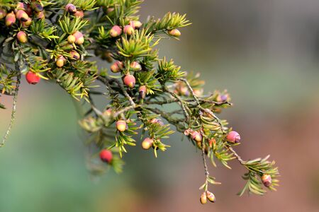 superstition: Yew berries (arils) on branch in autumn