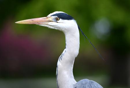 gray herons: Grey heron (ardea cineria) head close up