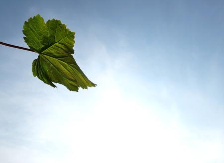 sicomoro: Singolo foglio di sicomoro con la luce splende attraverso