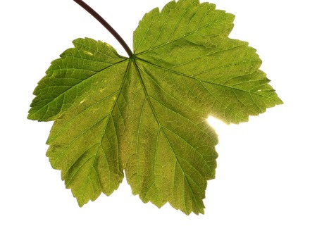 sycamore leaf: Single sycamore leaf with light shining through