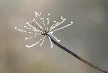 cicuta: cabeza de la semilla de la planta de cicuta, en las heladas de invierno
