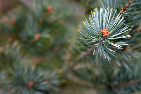 pine needles close up: Scots pine, pinus sylvestris, buds and needles