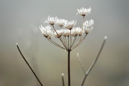 hemlock: cabeza de la semilla de la planta de cicuta, en las heladas de invierno