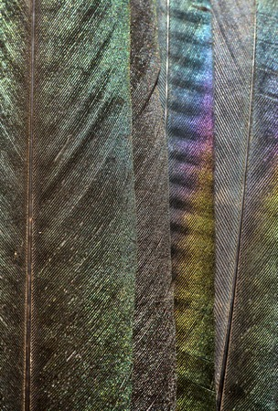 magpie: Close up of iridescent european magpie feathers