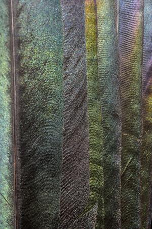 iridescent: Close up of iridescent european magpie feathers