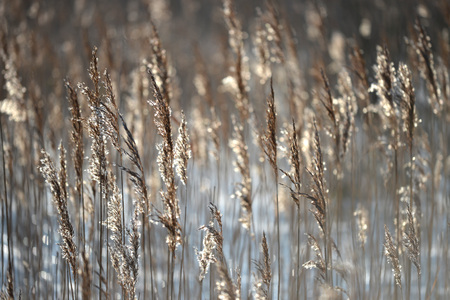 canne: canne retroilluminato in zone umide, a basso sole invernale