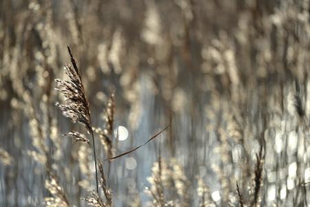 backlit: Backlit reeds in wetland, low winter sun