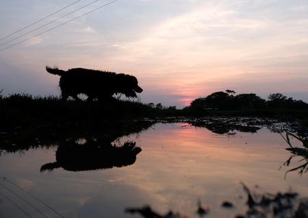 still water: Gun dog crossing still water at sunset