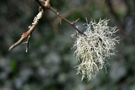 lichen: Grey green lichen growing on blackthorn twigs