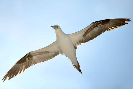 glide: Flying gannet (sea bird) with sun behind.