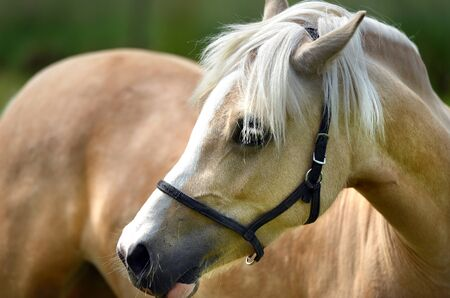 filly: Young pale filly in a paddock portrait