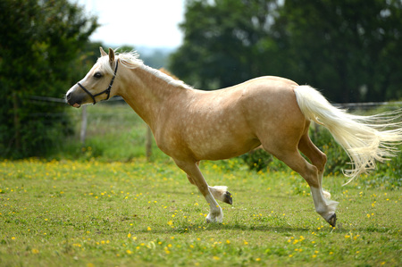 filly: Young pale filly in a paddock running