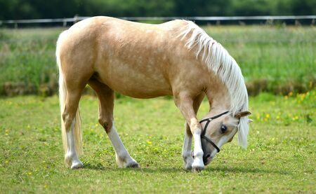 filly: Young pale filly in a paddock itching hoof