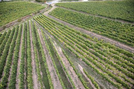 grape vines: Aerial shot of vines in a vineyard