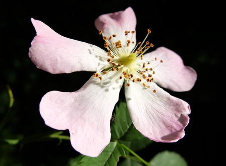 white and pink english wild rose flower fully open Stock Photo