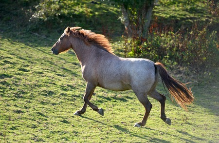 Grey horse trotting up hill at sunset