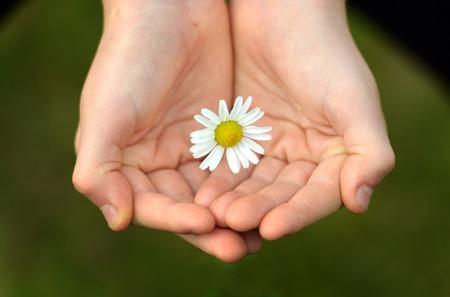 cradling: Childs hands cradling a fresh daisy flower