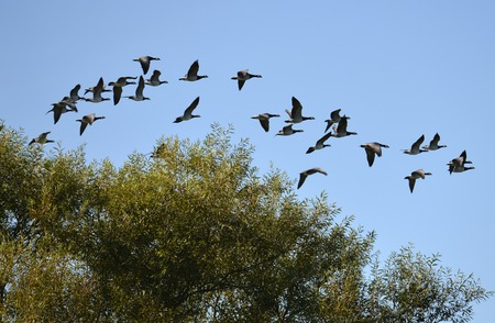 Canada geese flying over tree tops, UK