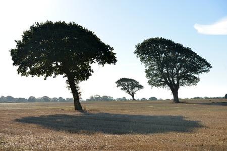 three wind swept oak trees in a field