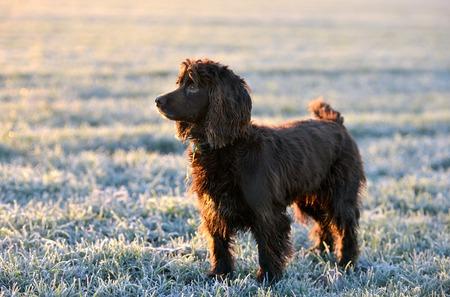 cocker: Cocker spaniel dog standing in a frosty field Stock Photo