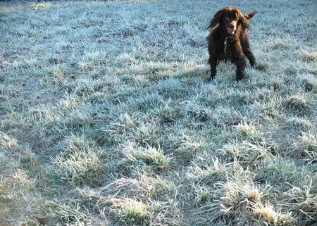 spaniel: Cocker spaniel standing on frost covered grass