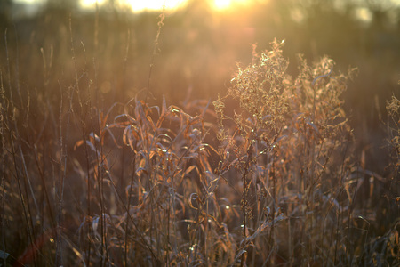Backlit evening dead grasses and weeds in a meadow in golden light Stock Photo