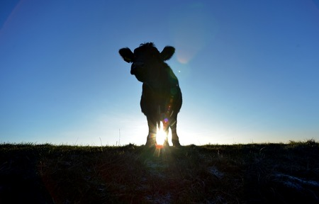 Cow on the south downs near Devils Dyke, at sunset, Sussex Stock Photo