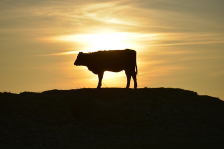 dyke: Cow on the south downs near Devils Dyke, at sunset, Sussex Stock Photo
