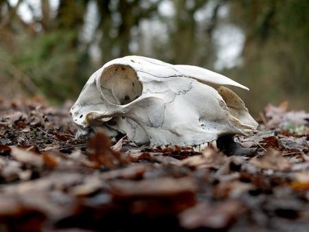 kampfhund: Sheep skull in woodland on top of winter leaf fall Lizenzfreie Bilder
