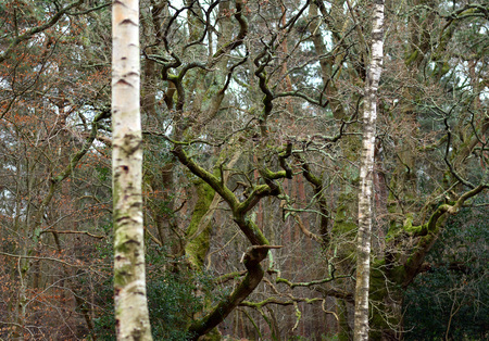 Gnarled oak and straight birch trees in winter Stock fotó