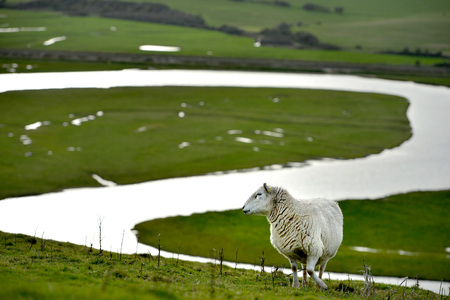 sheep on the south downs, East Sussex, with the cuckmere river winding bend Stock Photo