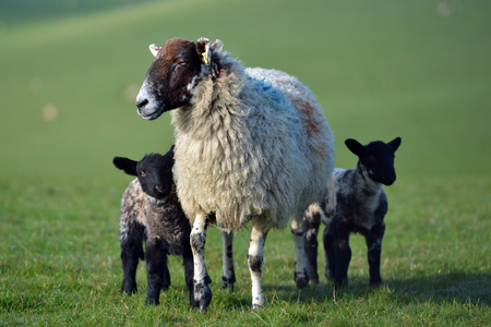 black and white twin lambs on the South Downs, UK Stock Photo