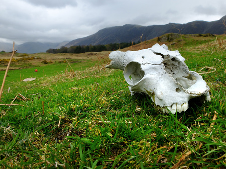 Horned sheep skull in the English Lake District