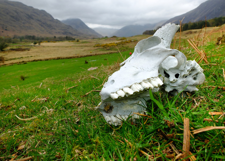cumbria: Horned sheep skull in the English Lake District