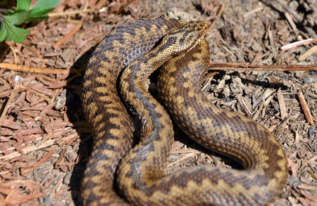 cold blooded: European adder warming itself in the sun