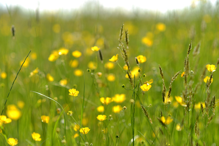 wild flowers and buttercups in a traditional meadow