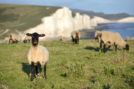 Sheep grazing on the South Downs near the Seven Sisters chalk cliffs, East Sussex