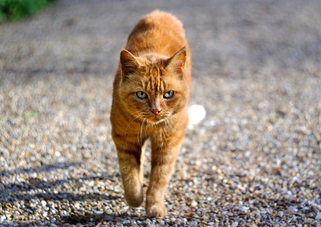 walking path: Ginger cat walking down a sunny gravel path
