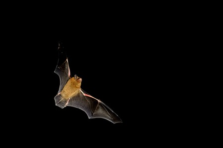 Bat flying at night time with wings spread
