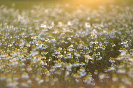 Field of daisies back lit with a setting sun