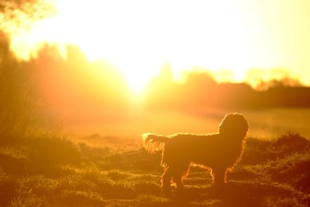Cão, em, um, campo, mostrado silhueta, por, a, sol ascendente Foto de archivo - 94543484