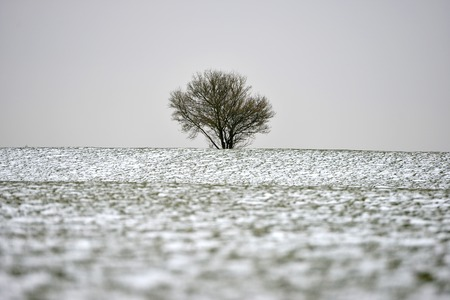 Windswept bare tree on the South Downs in winter