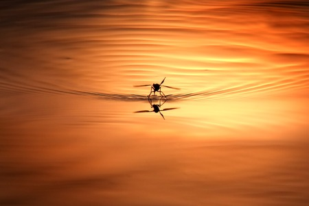 Flying mosquitoes laying eggs in a puddle at sunset