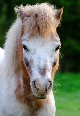 White shetland pony looking towards the camera