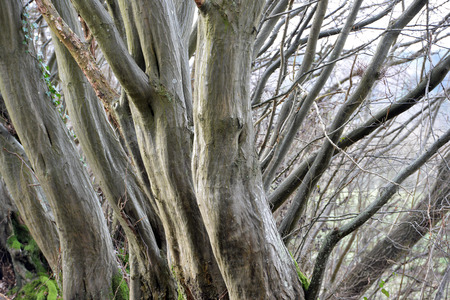 Twisted tree trunks in an ancient wood