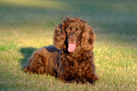 Brown cocker spaniel sitting in a sunny patch of grass