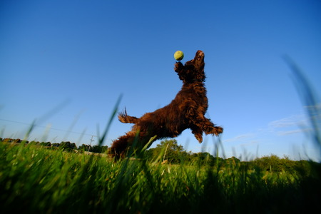 Cocker spaniel jumping for a ball in a field