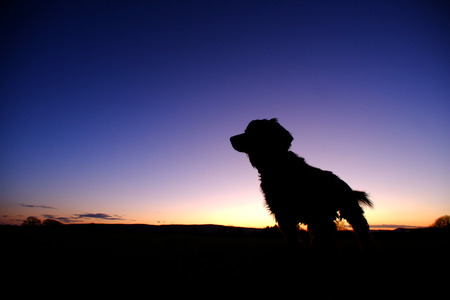 Silhouette of a small shaggy dog at dusk